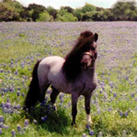 Small Home Breeds Miniature Horses Just B Cause
