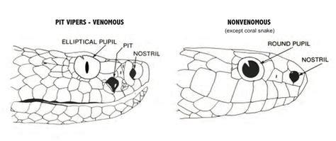 Imagenes Sensoriales Termicas | visi 243 n t 233 rmica de las serpientes im 225 genes y fotos