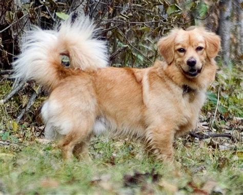 golden retriever cross dachshund for sale golden retriever corgi mix but i doubt there 39 s a drop of either breed