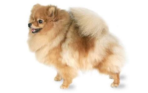 pomeranian temperature small dogs who do well in cold weather dogtime