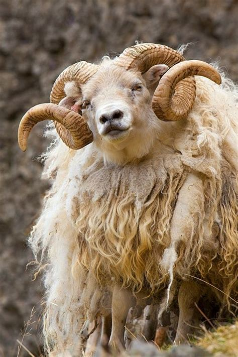 Types Of Hair Sheep by Beautiful Wool And The On