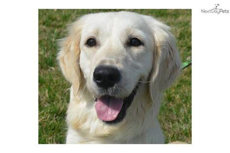creme golden retriever names meet ch boy a golden retriever puppy for sale for 1 800 golden