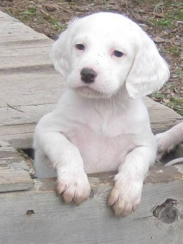 setter puppies for sale setter puppies for sale for sale in worthington ontario pets