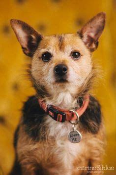 norwich terrier yorkie mix husky alaskan malamute mix 2 yrs medford or songdog rescue inc