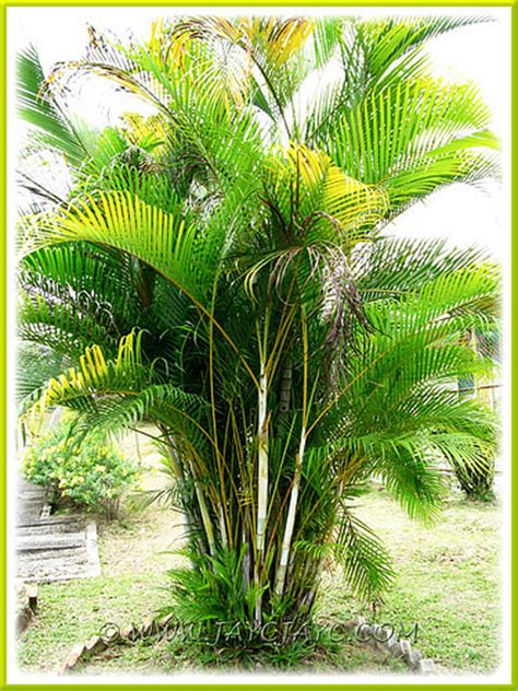 Areca Palm dypsis lutescens golden yellow palm 2 9 seen at the