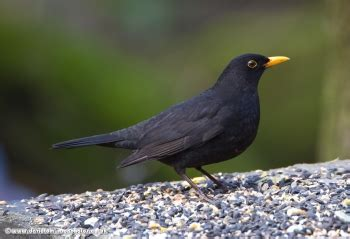 british wildlife facts blackbird let s go britain