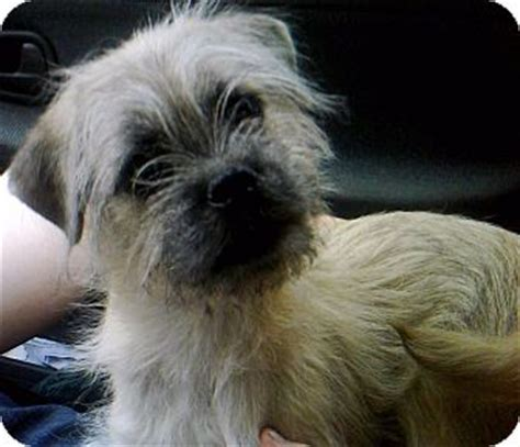 pug yorkie terrier mix teddy adopted puppy cleveland akron oh pug yorkie terrier mix