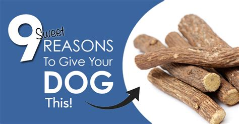 can dogs eat licorice is licorice for your