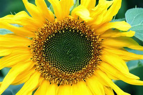 wallpaper hd bunga matahari foto wallpaper bunga matahari
