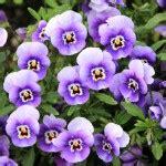 panse fiore piante mese primule e pans 232 vivaio scariot