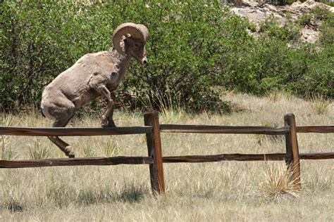 Garden Of The Gods Wildlife Big Horn Sheeps Garden Of The Gods Colorado Springs