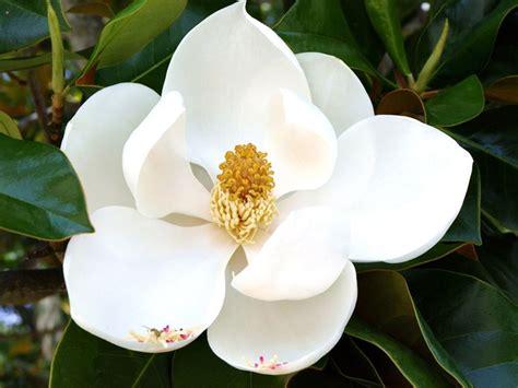 magnolia fiore fiori magnolia fiori di piante i fiori della magnolia