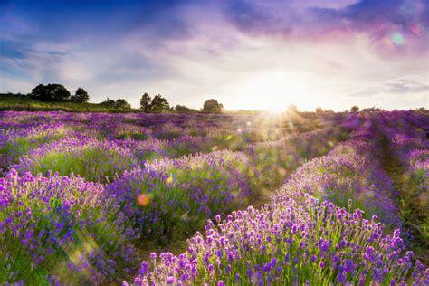 Lavendel Steckbrief by Echter Lavendel 187 Ein Steckbrief