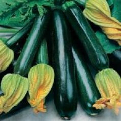 Mr Fothergills Courgette Zucchini mr fothergill s courgette black gro well direct