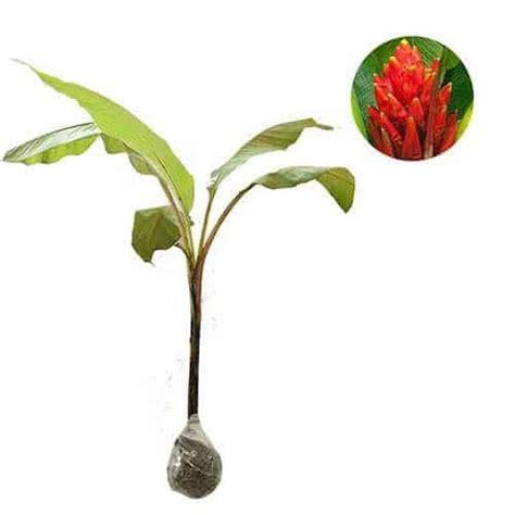 Tanaman Hias Pisang Songgo Langit jual tanaman pisang songgo langit scarlet banana bibit