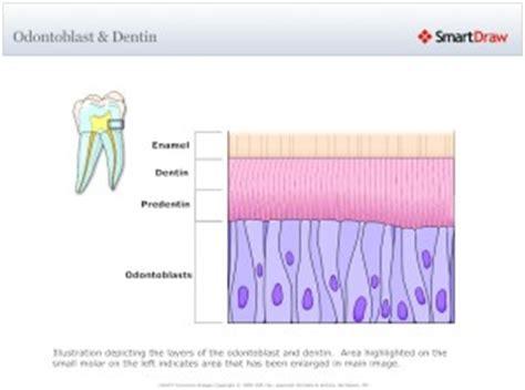 genesis credit dental dentinogenesis intelligent dental