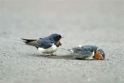 did you know swallows mate for life beingstray com