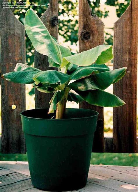 plantfiles pictures musa dwarf banana super dwarf
