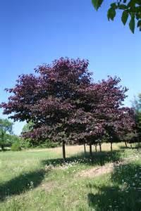 forest pansy redbud summer shade tree farm shade