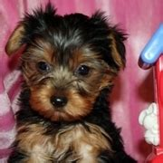yorkie puppies toledo ohio dogs for sale puppies for sale toledo classifieds toledo ads toledo classified ads