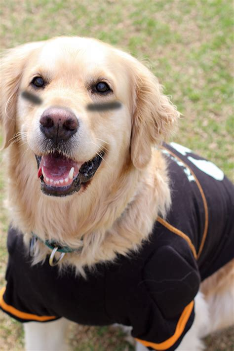 costumes for golden retrievers golden retriever pet costumes dogs in our photo