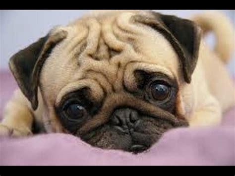 perro pug mini pug hates new perro no quiere jugar funnydog tv