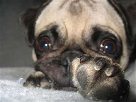 pug nail trim how to trim your pugs nails puglove pug breeder and pug products