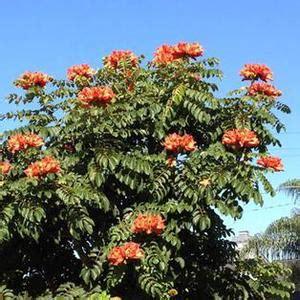 Bibit Bunga Tulip Di Indonesia jual pohon spathodea canulata berkualitas jual bibit