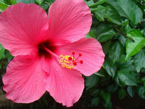 Bunga Hibiscus Scarlet file bunga hibiscus jpg wikimedia commons