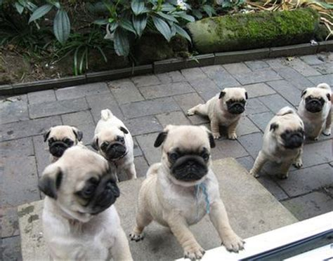 pug herd a grumble of pug puppies wanting in pug puppy pugs best breed