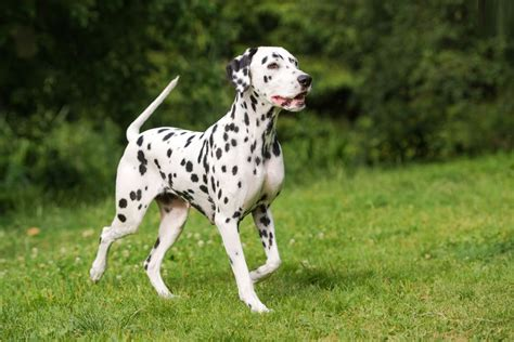 are dalmations dogs dalmatian facts pictures puppies temperament breeders price information
