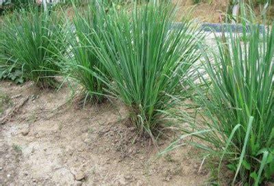 Benih Serai Wangi Untuk Dijual pokok serai untuk dijual murah di kuala lumpur shah alam