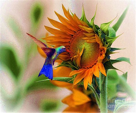 hummingbird on sunflower photograph by john kolenberg