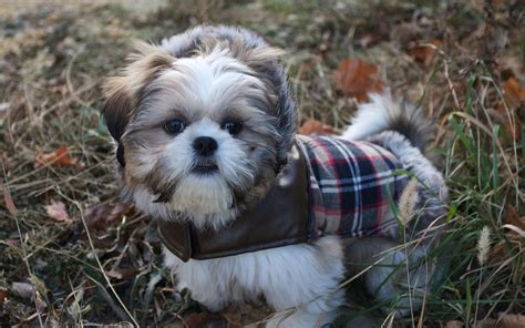 shih tzu pup shih tzu puppy wallpaper breeds picture