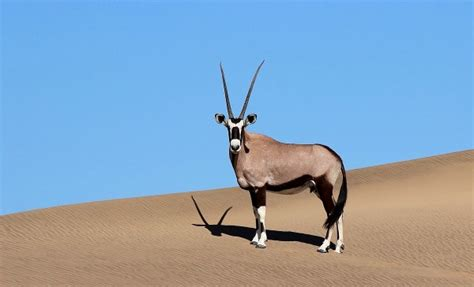 oryx gazella orice gazzella juzaphoto