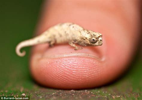 Tiny by The Tiny Chameleon No Bigger Than A Human Fingernail