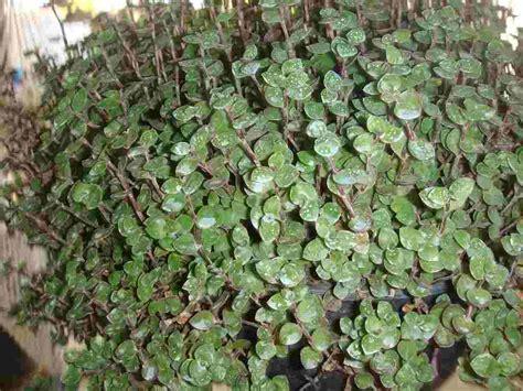 plantas para jardines plantas para jardines verticales o azoteas verdes