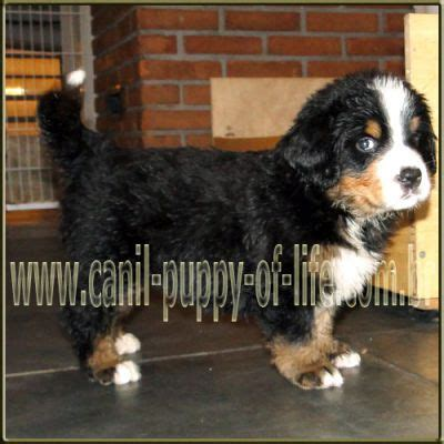 bernese mountain lifespan canil puppy of vd filhotes bernese mountain sp