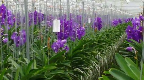 mengganti media tanam dan pot anggrek repotting orchids