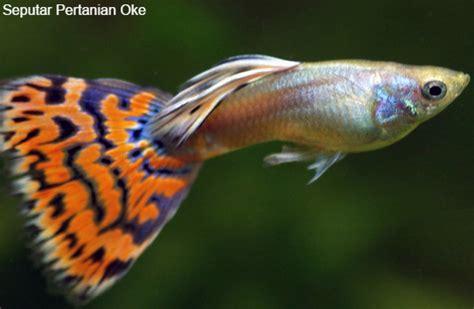 Ikan Oscar Kecil 61 ikan hias kecil yang menakjubkan referensi ilmu