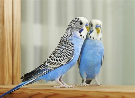 signs of parakeet molting cuteness