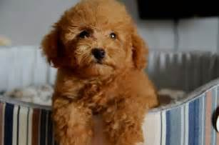 Poodle puppies sold 4 years 5 months toy poodle brown teddy bear