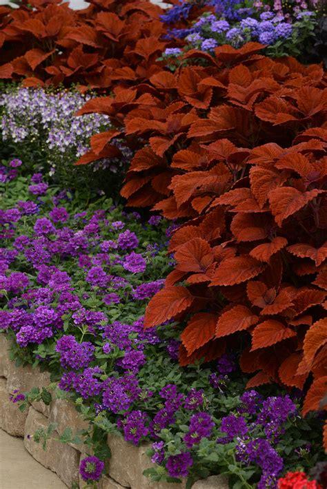 coleus inferno  plants bargain garden
