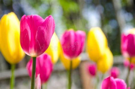pink tulip field  stock image image  flower