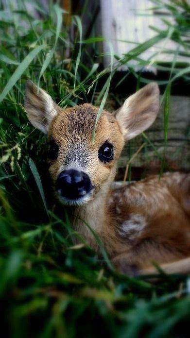 sweet baby deer pictures   images  facebook