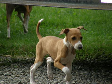 italian greyhound puppies italian greyhounds italian greyhound puppies for sale breeder