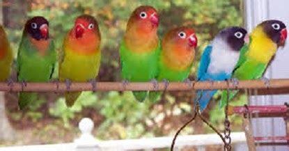 Optimus Pakan Lovebird Bikin Ngekek Panjang tips dan trik dalam cara merawat lovebird biar rajin ngekek