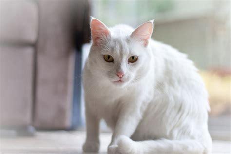 white cat white cat image free stock photos 8 758 free
