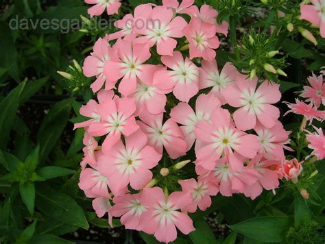 plantfiles pictures annual phlox drummond s phlox