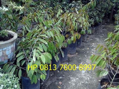 Cari Bibit Durian Musang King bibit sawit karet dan aren jual bibit durian unggul